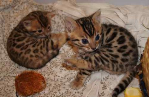 Male and fenale adorable savannah kitten waiting f