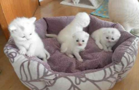 Cream white british short hair kittens for adoptio