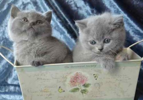 British blue Short Hair Kittens for adoption