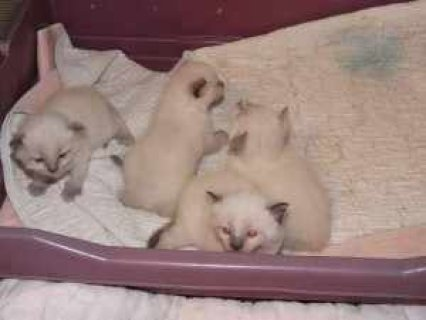 himalayan kittens for adoption