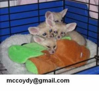 Male And Female fennec fox For Sale Now Ready To G