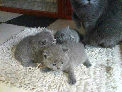 Males And Females British Short Hair Kittens avail