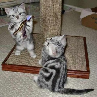 Beautiful litter of American curl short hair kitte