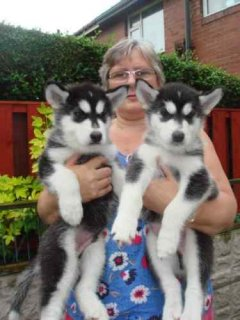 Cute male and female siberian husky puppies ready