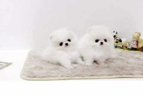 Super Tiny Teacup AKC Toy Pomeranian Puppies for A