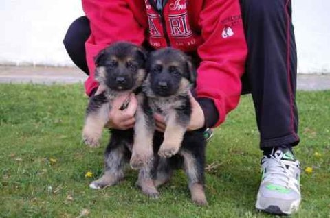 German Shepherd puppies We are proud to advertise