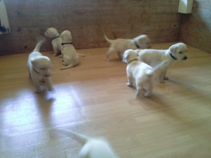 Healthy Male and Female Labrador Puppies for adopt