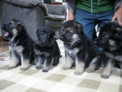Gorgeous German Shepherd Puppies Ready For Adoptio