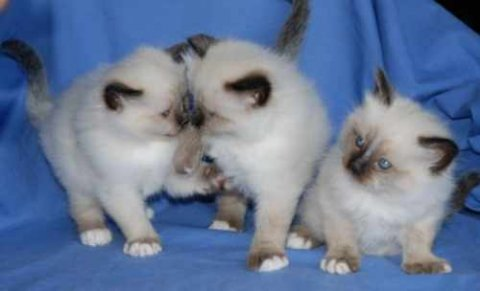 Male and female Birman kittens ready for good reho