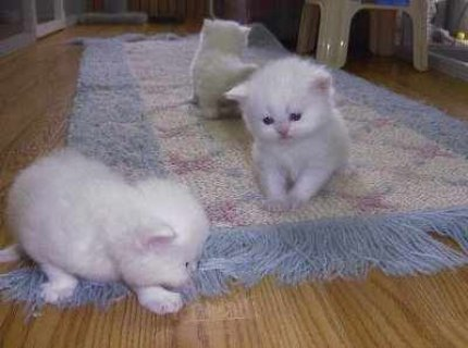 Friendly Lovely Teacup white Persian Kittens For A