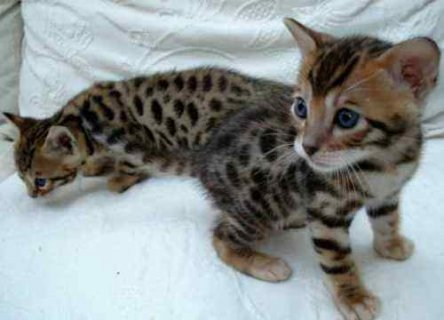 صور QUALITY Male And Female Bengal Kittens Ready 1