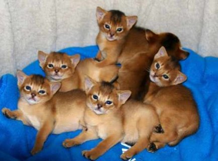 Registered Abyssinian kittens available for adopti