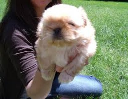Shih tzu puppy available