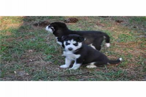 excellent male and female Siberian Husky Pupies fo
