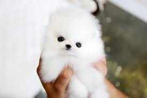 Super Cute Tiny Tea Cup Pomeranian Puppies Availab