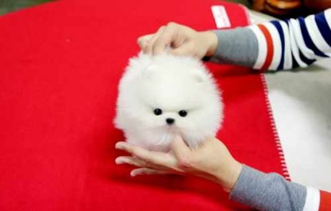 Adorable Male And Female Tea cup Pomeranian puppie