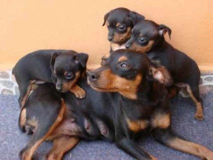 Black and brown Doberman Pinscher Experience puppi