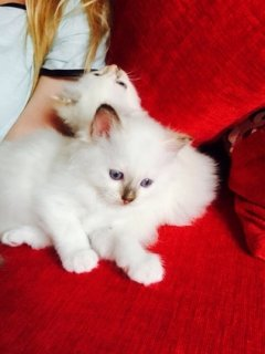 STUNNING BIRMAN KITTENS FOR SALE