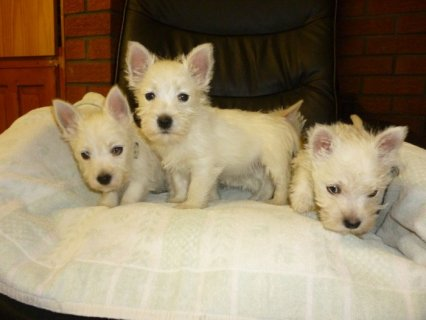 صور 11 Weeks Old and West Highland Terrier Puppies For 1