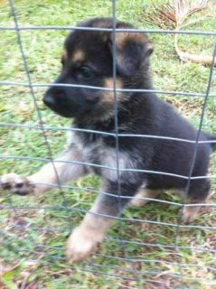 These darling top quality German Shepherd puppies