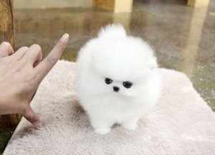 Cute Adorable Male and Female Pomeranian Puppies r