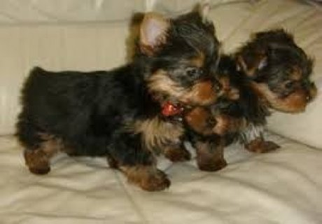 صور Cute Yorkie Pups For Exmass 1
