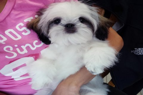 .....Shih Tzu puppies for adoption....