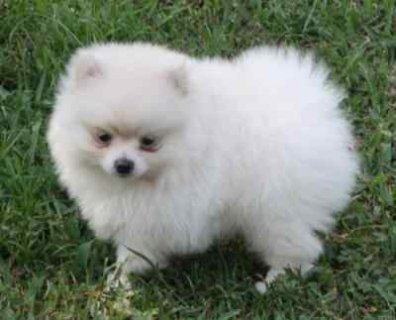 Lovely Female Pomeranian puppy..............,,,