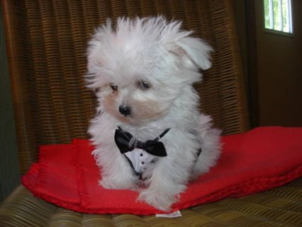 Cute male and female Snow white Maltese puppies t