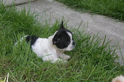 Gorgeous French Bulldog Puppies Available