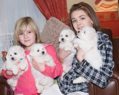 صور Bichon Frise puppies for free adoption1 1