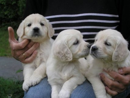 صور Registered Golden Retriever Puppies for adoption 1