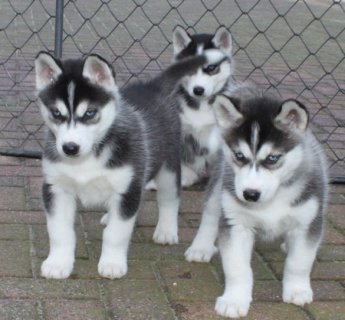 صور Purebred Blue Eye Siberian Husky Puppies Available 1