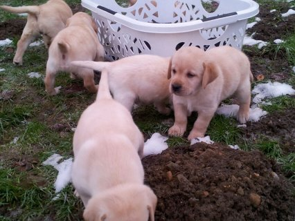 Male and Female Labrador Retriever Puppies Availab