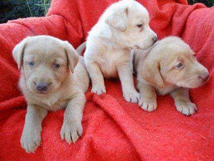 Well Trained Labrador Retriever Puppies for adopti