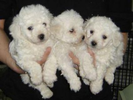 Pure Breed Male/Female Bichon Frise Puppies For Sa