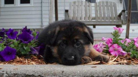 German Shepherd puppies for Adoption222
