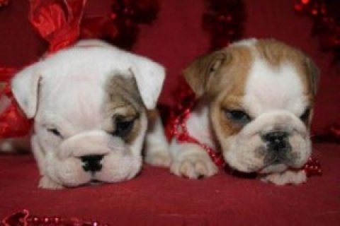 New Male and Female English Bulldog Puppies For Sa