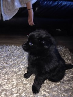 Grey Male and Black Female Tiny Teacup Pomeranian