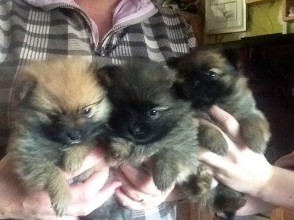 Teacup Black And Grey Pomeranian Puppies