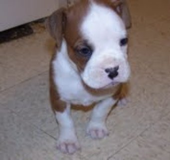 very beautifull and cute boxer puppies for adoptio