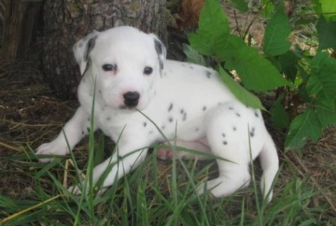 Cute Dalmatian puppies For Sale