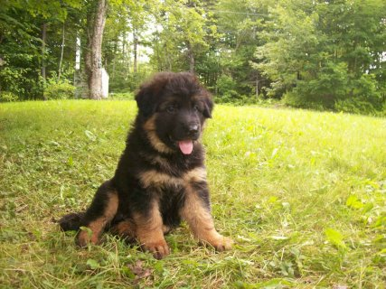 German Shepherd puppies for good family1111