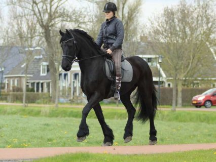 Black Mare Well trained Horse for sale , Frisian h