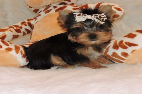 Charming and Cute Yorkie Now Available For Rehomin