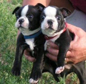 صور Boston Terrier pups for Good home11 1