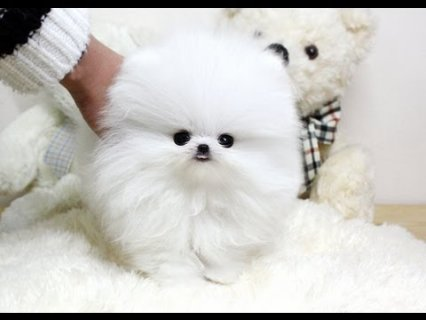 Tiny White Teacup Pomeranian Puppies For Sale 2211