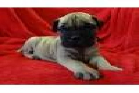 Cute AND ADORABLE Bullmastiff Puppies For Sale111