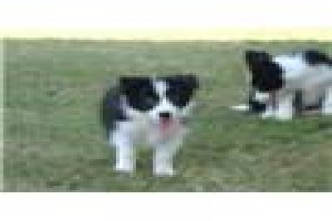 Pure Breed Border Collie Puppies Ready For Rehomin