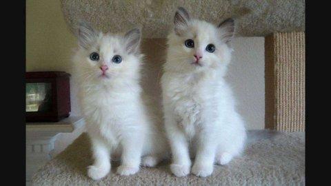 Ragdol Kittens for Nice Family 33222
